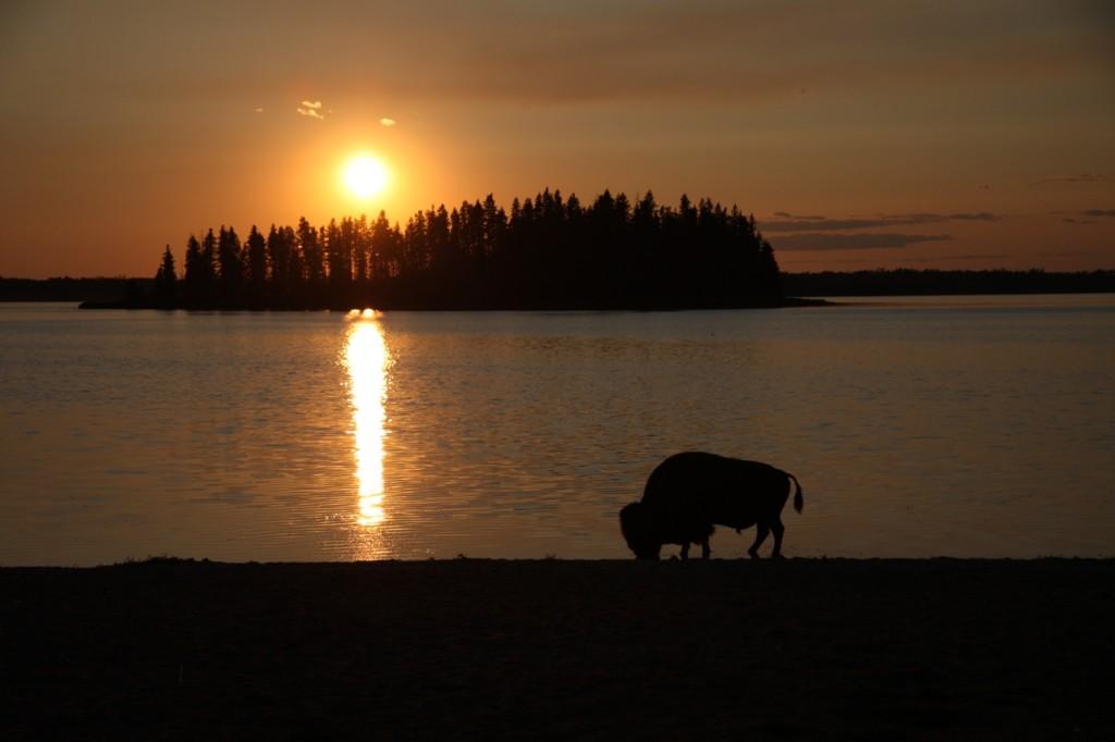 Bison at sunset at Astotin Lake