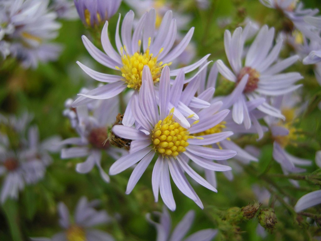 Purple Asters in upland field area.