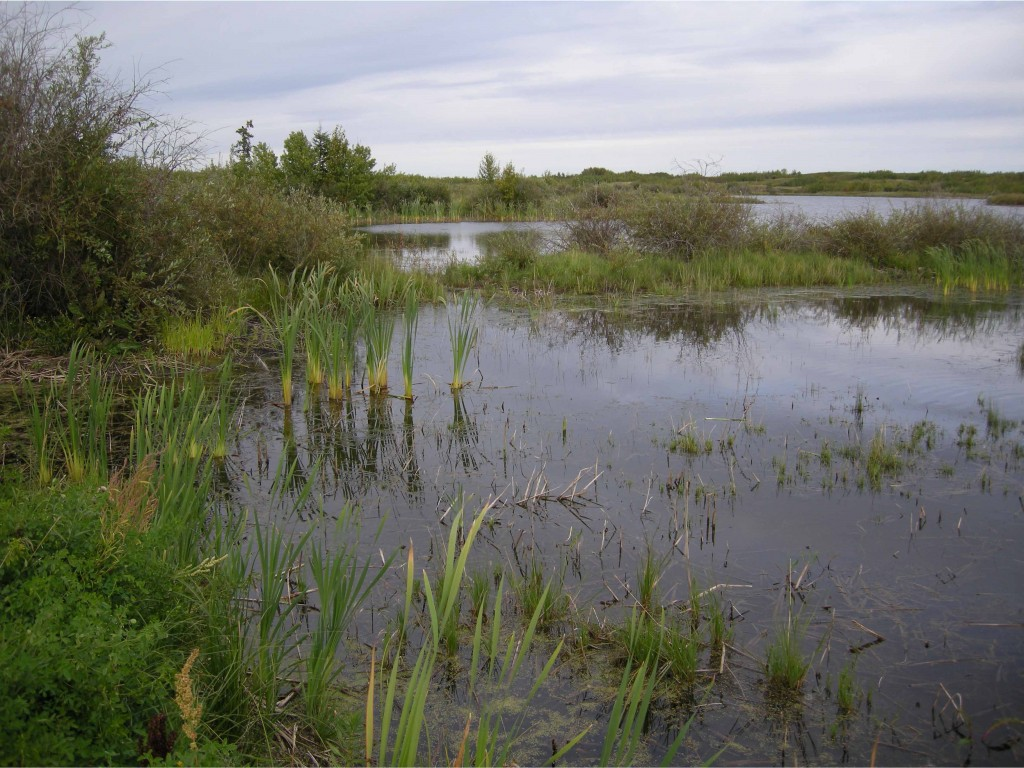 Shoreline habitat with Cattails.